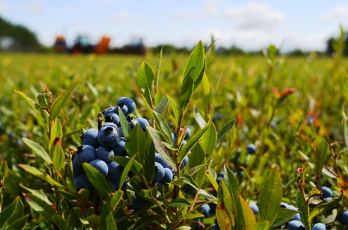 Wild Blueberries in the barrens