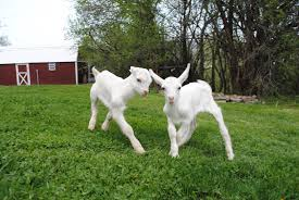 Farm Sanctuary goats