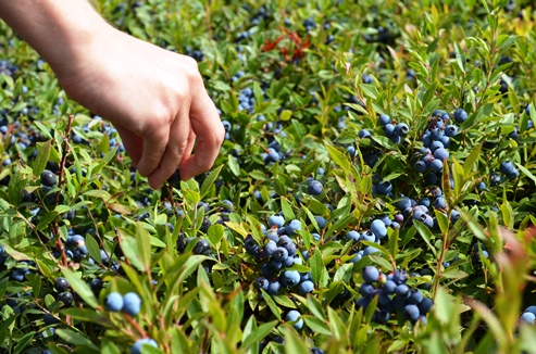 Picking a few Wild Blueberries