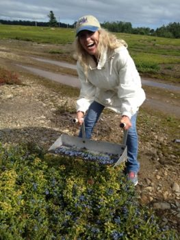 hand-raking the wild blueberries on Merrill Farms