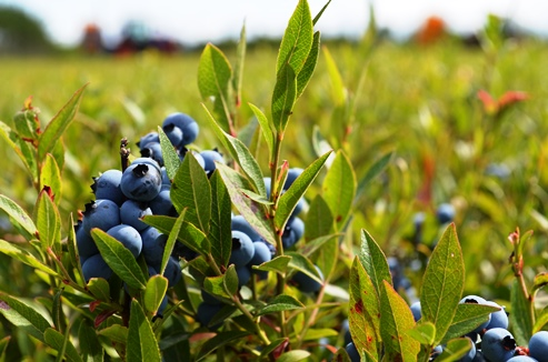 Wild Blueberries in Maine barrens